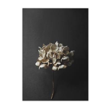 Paper Collective - Stillleben 04 (Hydrangea), 50 x 70 cm