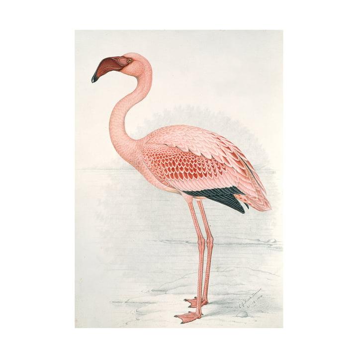 Flamingo (Finch-Davies) von IXXI